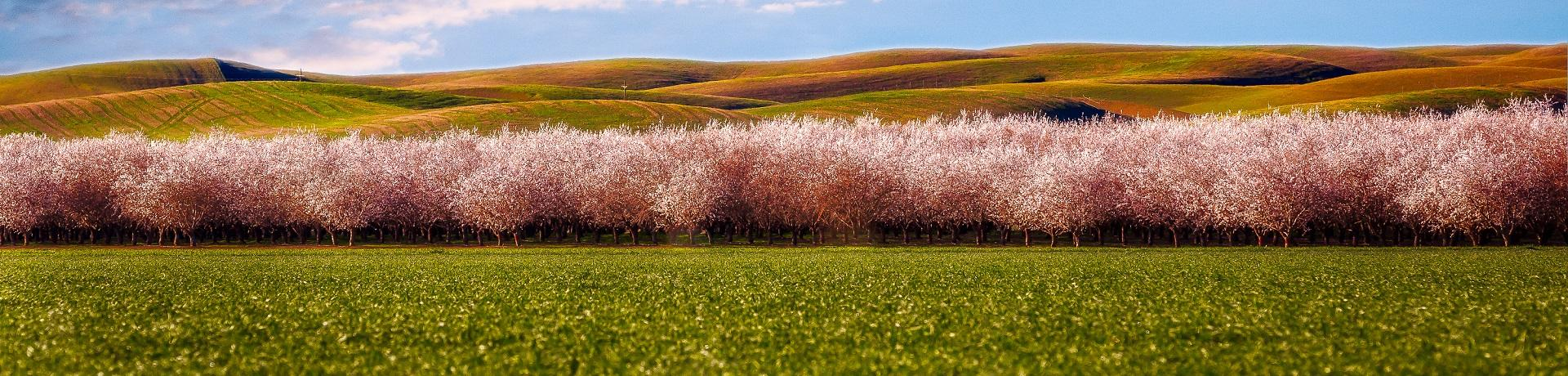 USA: Kalifornien - Mandelblüte - Emotion
