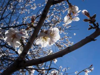 Mandelblüte - Santiago del Teide